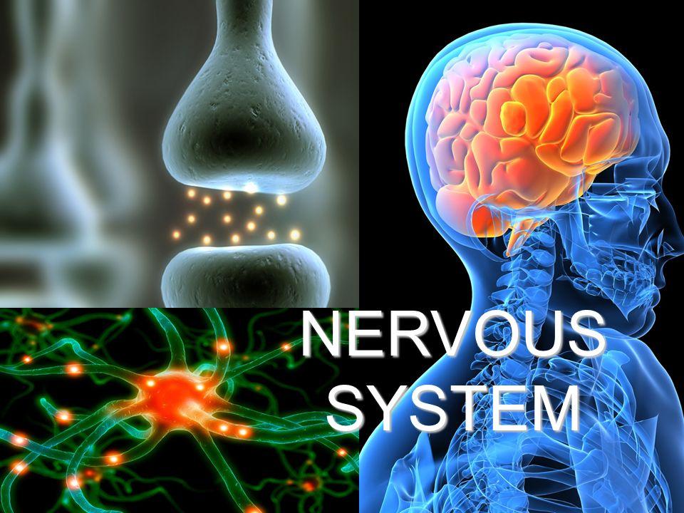 Nervous System NERVOUS SYSTEM. - ppt video online download