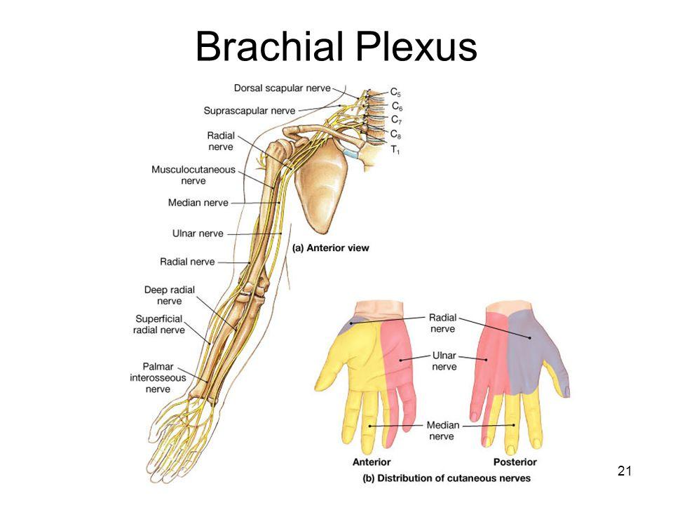 Spinal Cord, Human Reflex - ppt video online download Brachial Region