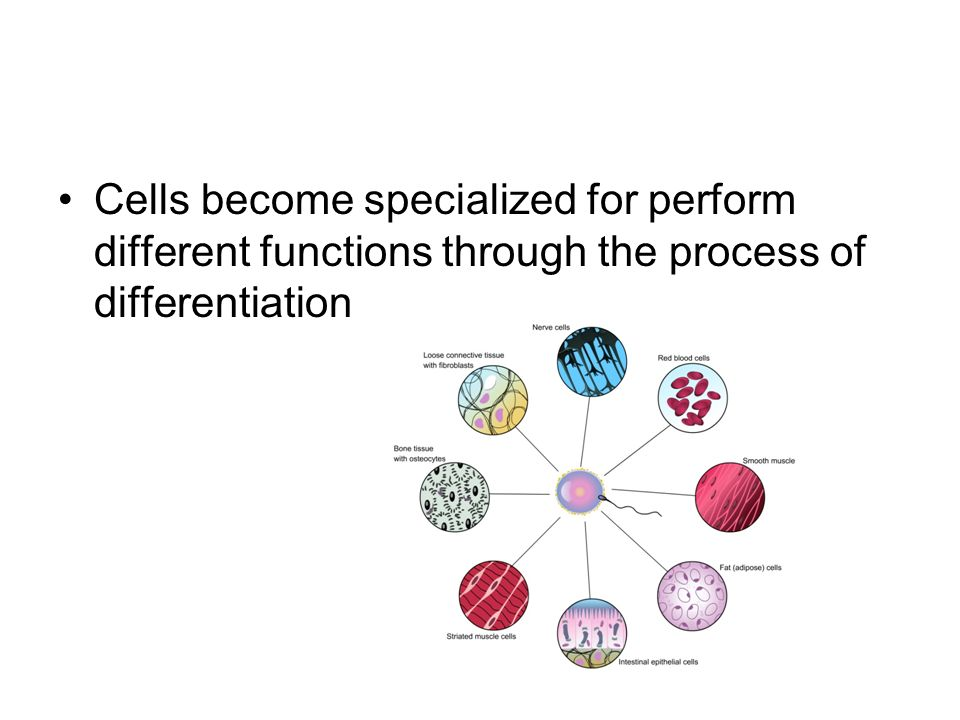 Cells become specialized for perform different functions through the process of differentiation