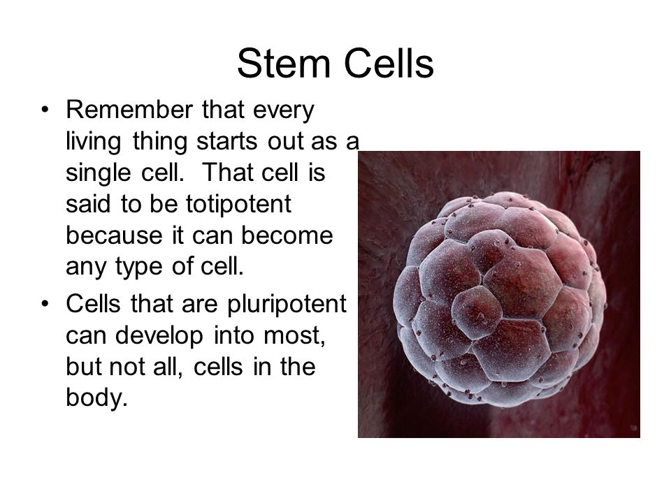 Stem Cells Remember that every living thing starts out as a single cell. That cell is said to be totipotent because it can become any type of cell.