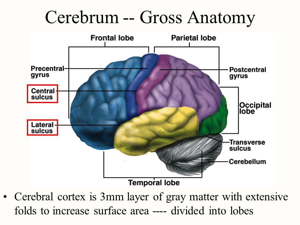 central core of the brain compared to cerebral cortex Sl psychology/how the brain works the core of all processes, has two main parts: the central nervous system the limbic system, and the cerebral cortex.