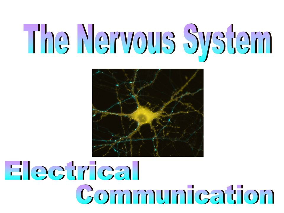 The Nervous System Electrical Communication