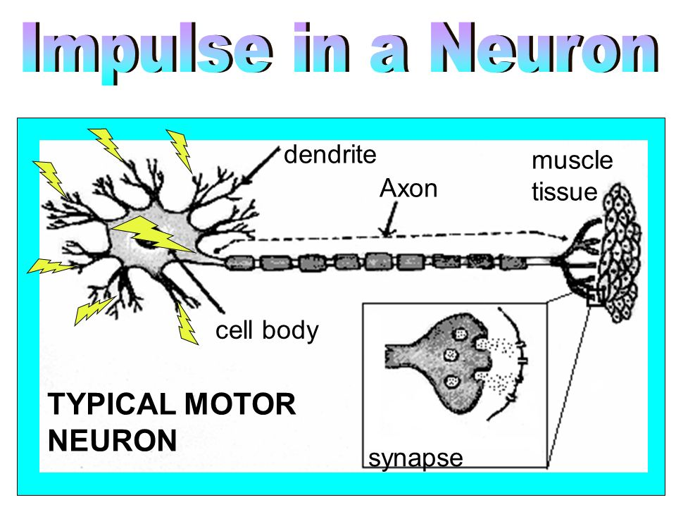 TYPICAL MOTOR NEURON dendrite muscle tissue Axon cell body synapse