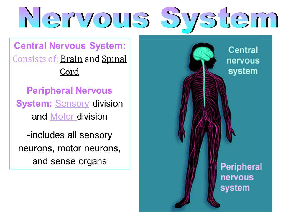 Nervous System Central Nervous System: Consists of: Brain and Spinal Cord. Peripheral Nervous System: Sensory division and Motor division.