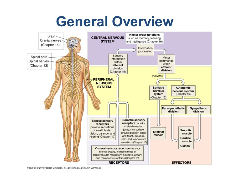 Cranial Nerves, source: training.seer.cancer.gov - ppt video online ...