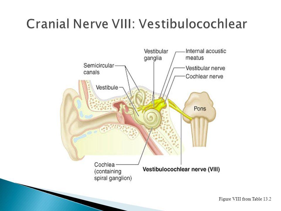 Vestibulocochlear Cranial Nerve image information