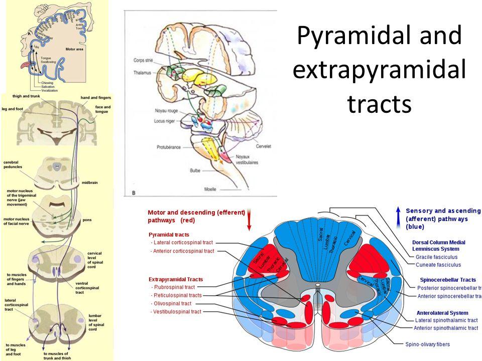 pyramidal and extrapyramidal tracts