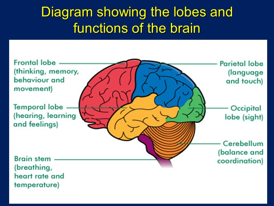 The lobe of the brain that deals with vision is the quizlet