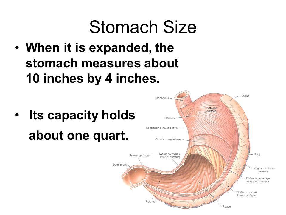 Stomach Size Timiznceptzmusic