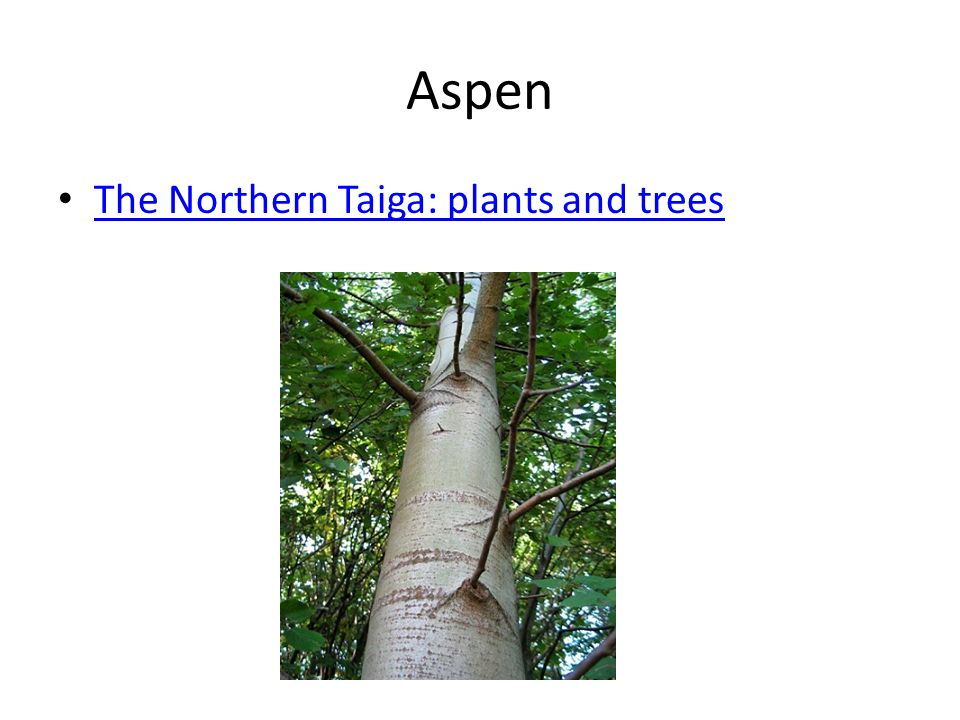 Aspen The Northern Taiga: plants and trees