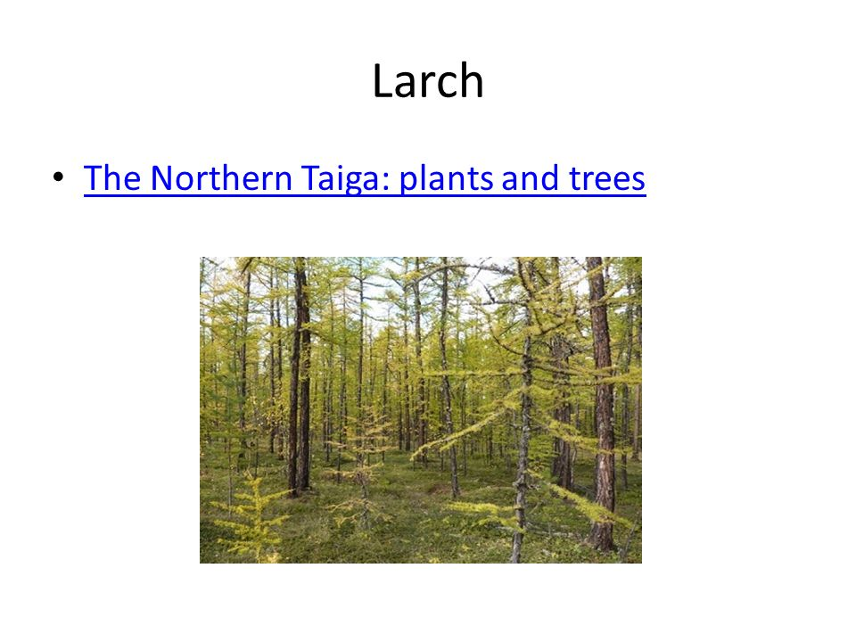 Larch The Northern Taiga: plants and trees