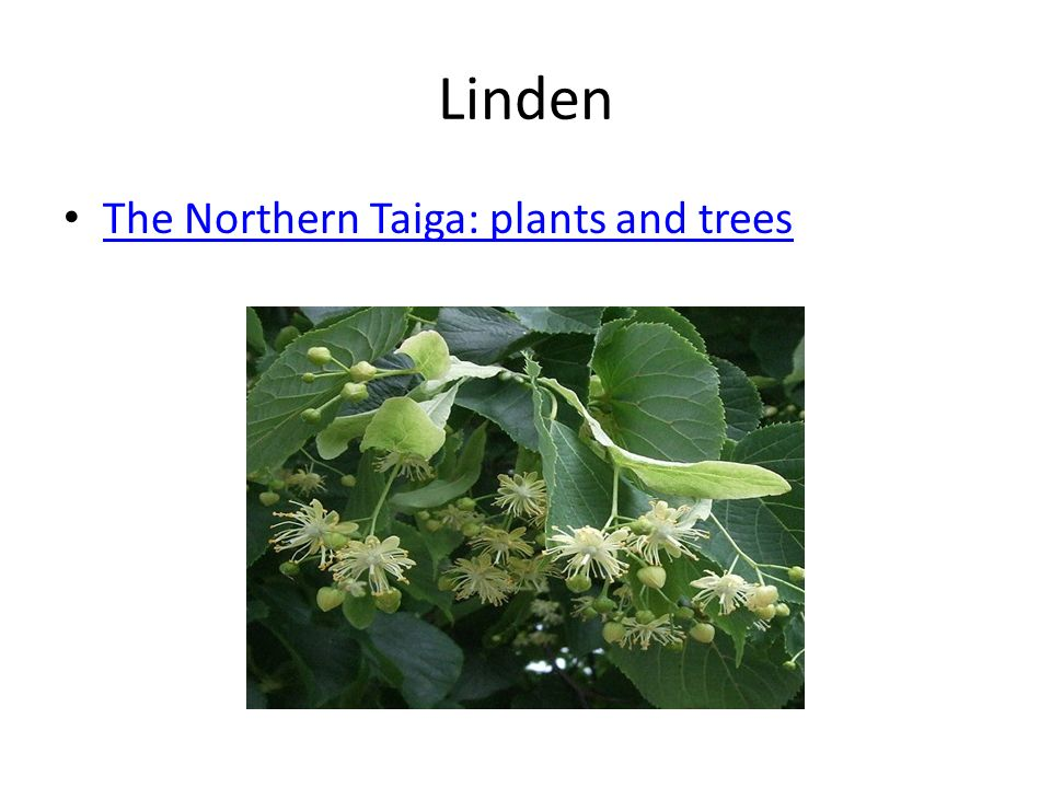 Linden The Northern Taiga: plants and trees