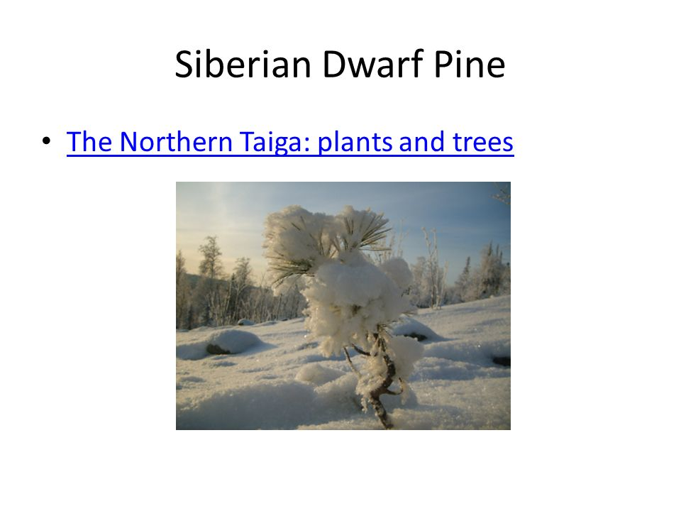 Siberian Dwarf Pine The Northern Taiga: plants and trees