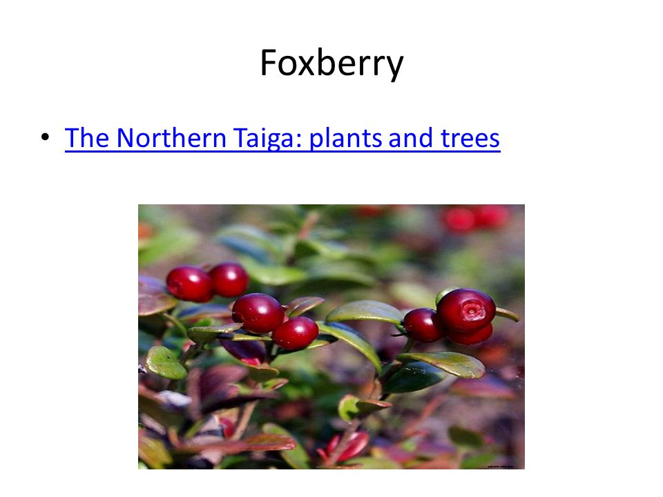 Foxberry The Northern Taiga: plants and trees