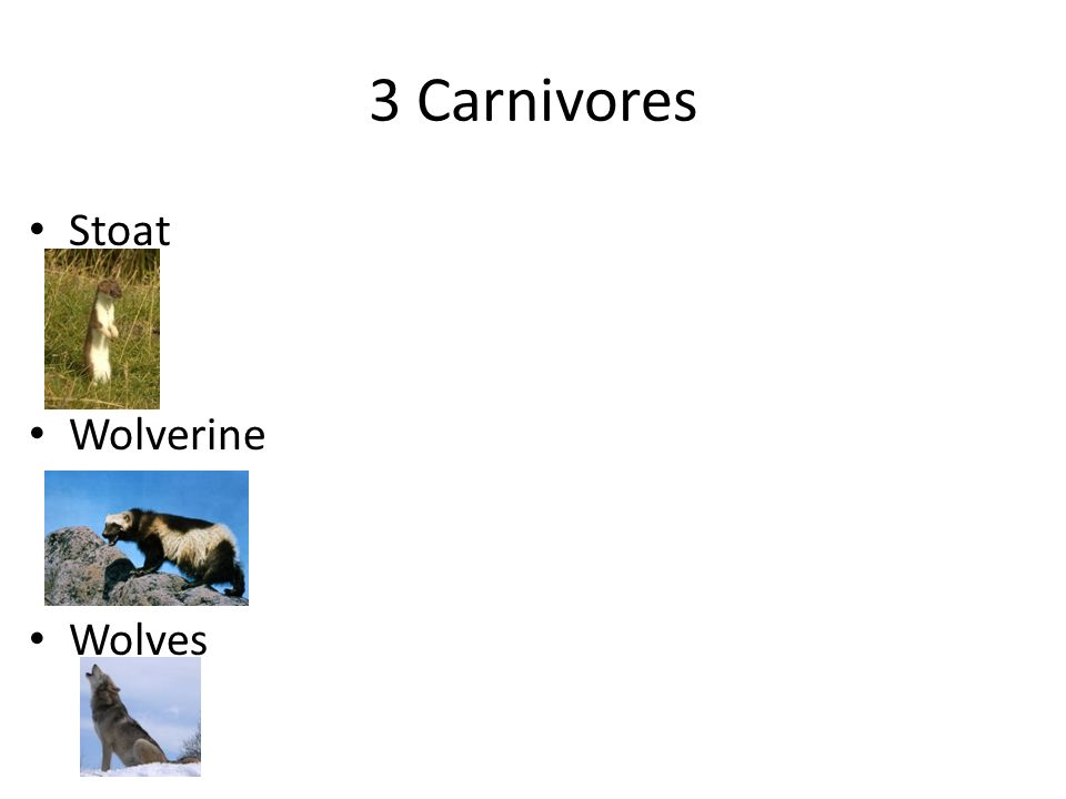 3 Carnivores Stoat Wolverine Wolves