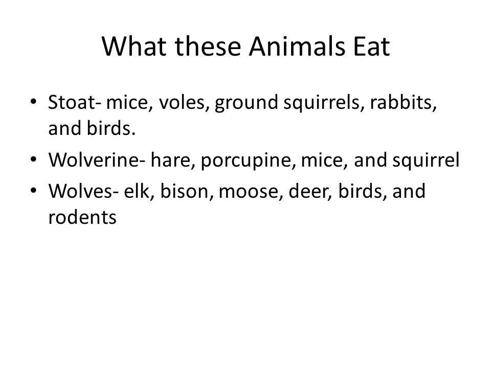 What these Animals Eat Stoat- mice, voles, ground squirrels, rabbits, and birds. Wolverine- hare, porcupine, mice, and squirrel.