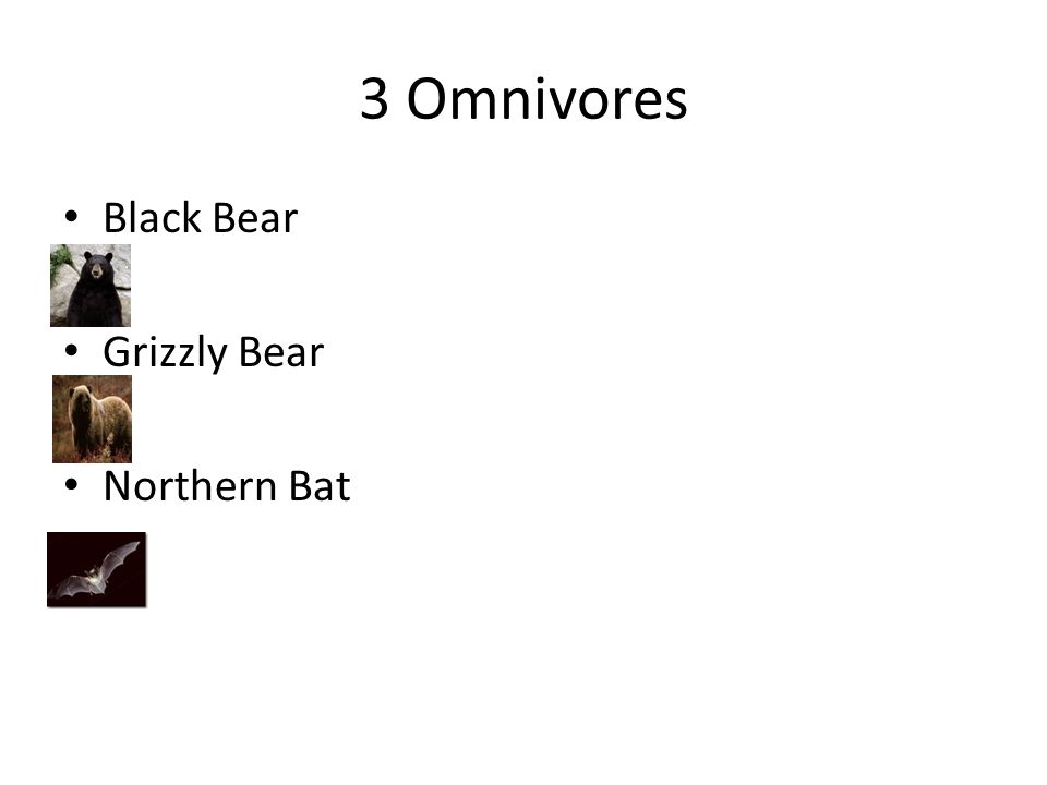 3 Omnivores Black Bear Grizzly Bear Northern Bat