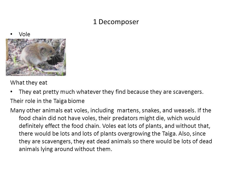 1 Decomposer Vole What voles eat What they eat
