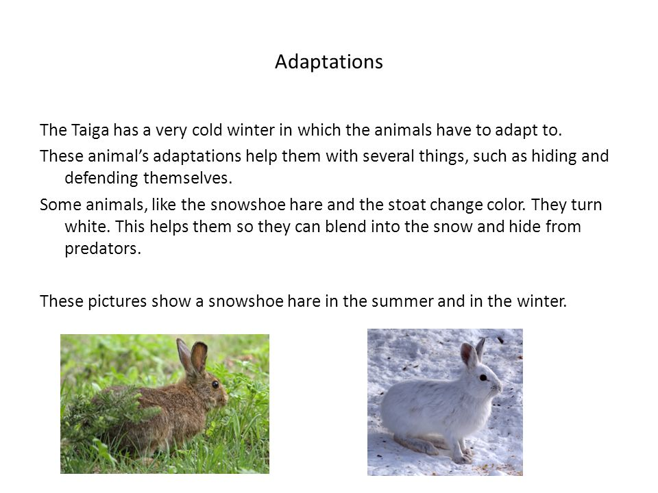 Adaptations The Taiga has a very cold winter in which the animals have to adapt to.