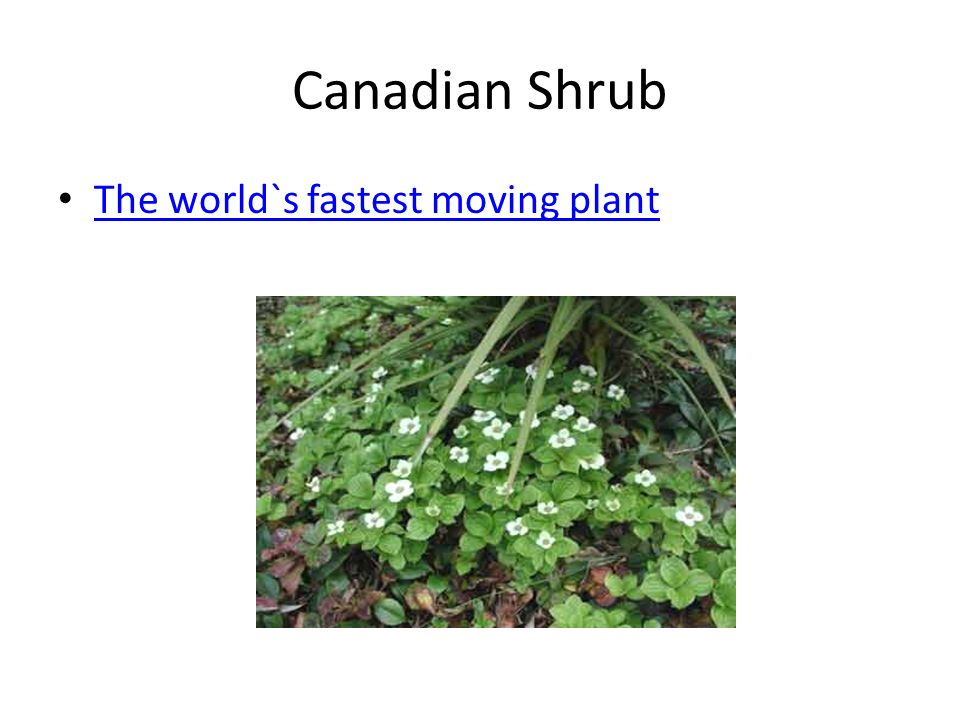 Canadian Shrub The world`s fastest moving plant