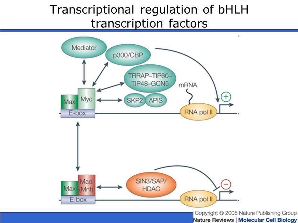 Transcriptional regulation of bHLH transcription factors