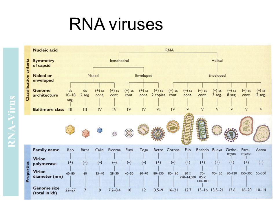 RNA viruses RNA-Virus