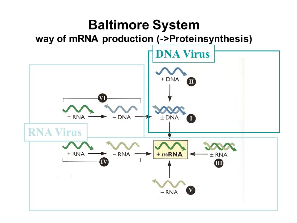 Baltimore System way of mRNA production (->Proteinsynthesis)