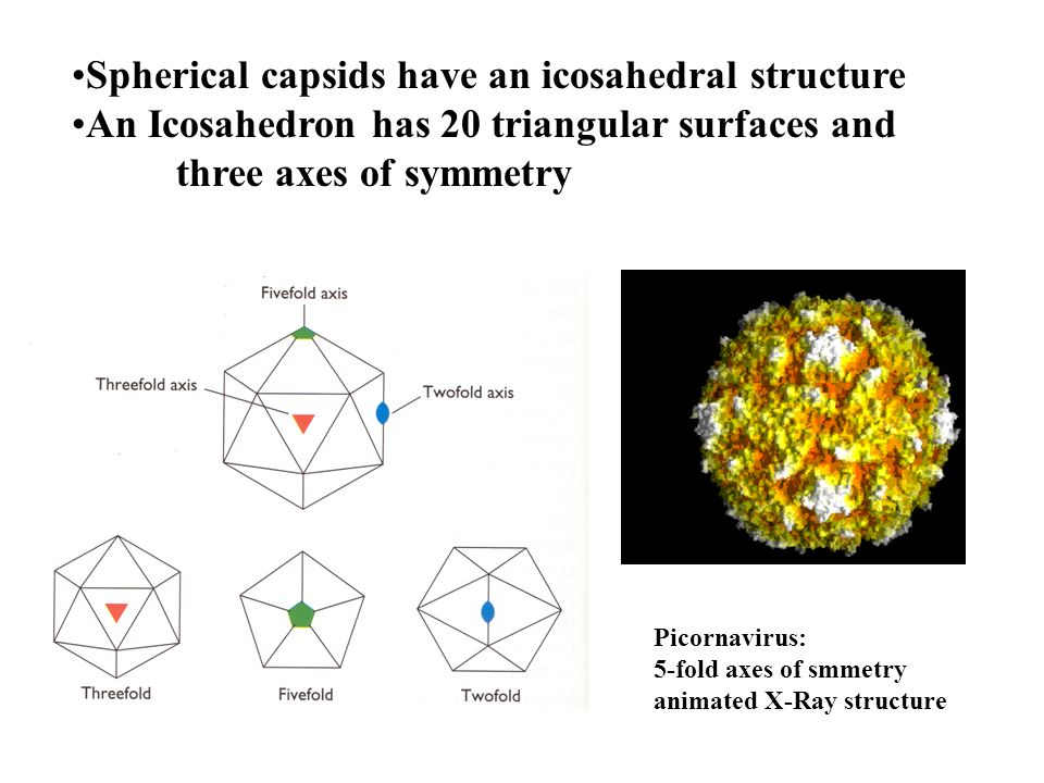 Spherical capsids have an icosahedral structure