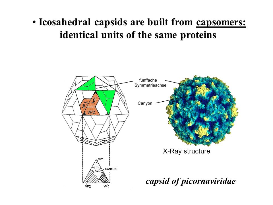 Icosahedral capsids are built from capsomers: