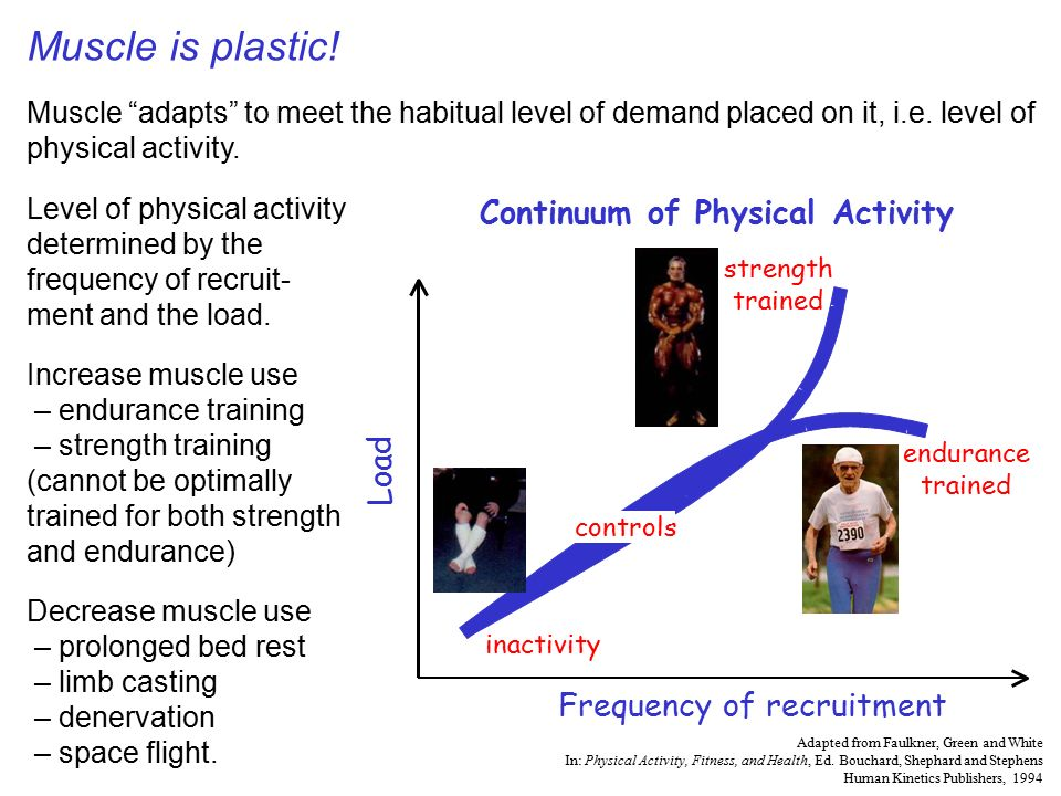 skeletal muscle physiology - ppt video online download, Muscles