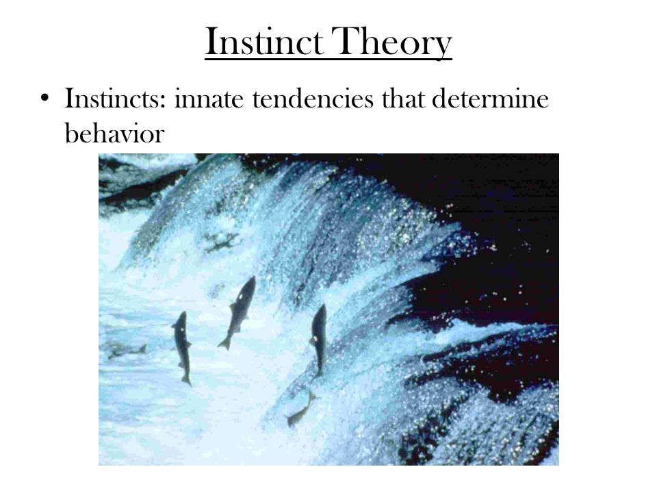 Instinct Theory Instincts: innate tendencies that determine behavior
