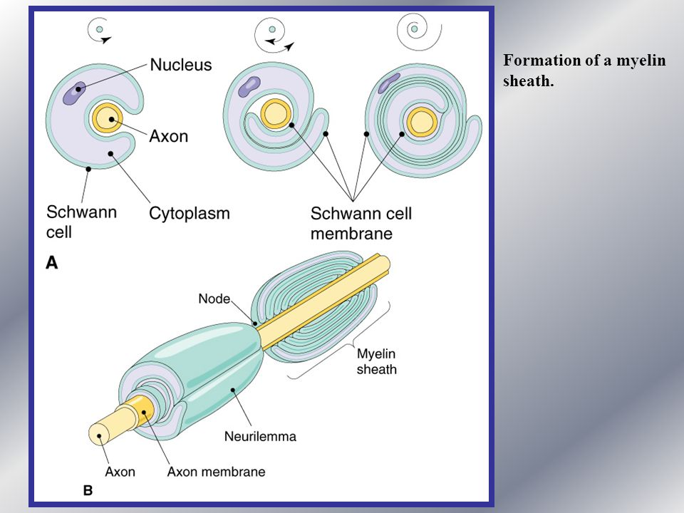 Formation of a myelin sheath.