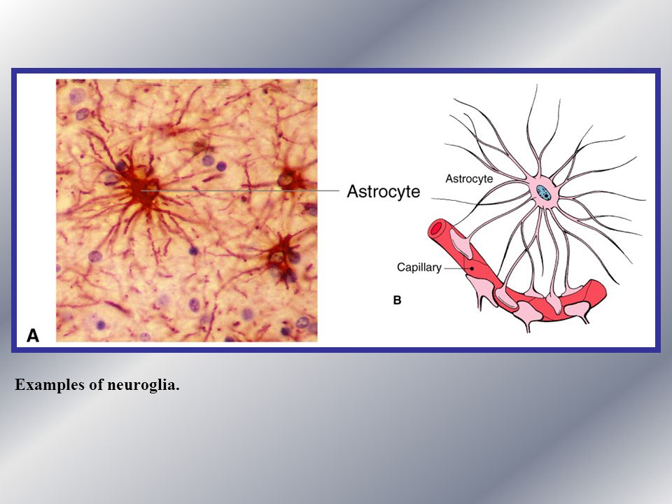 Examples of neuroglia.
