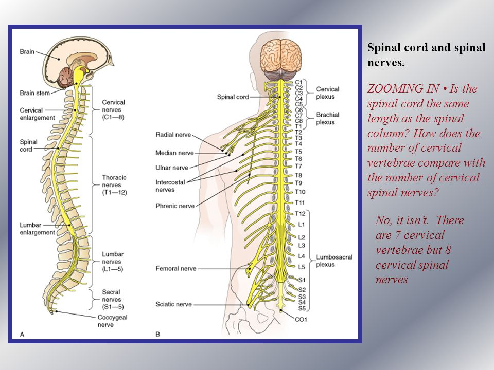 Spinal cord and spinal nerves. ZOOMING IN • Is the. spinal cord the same. length as the spinal. column How does the.