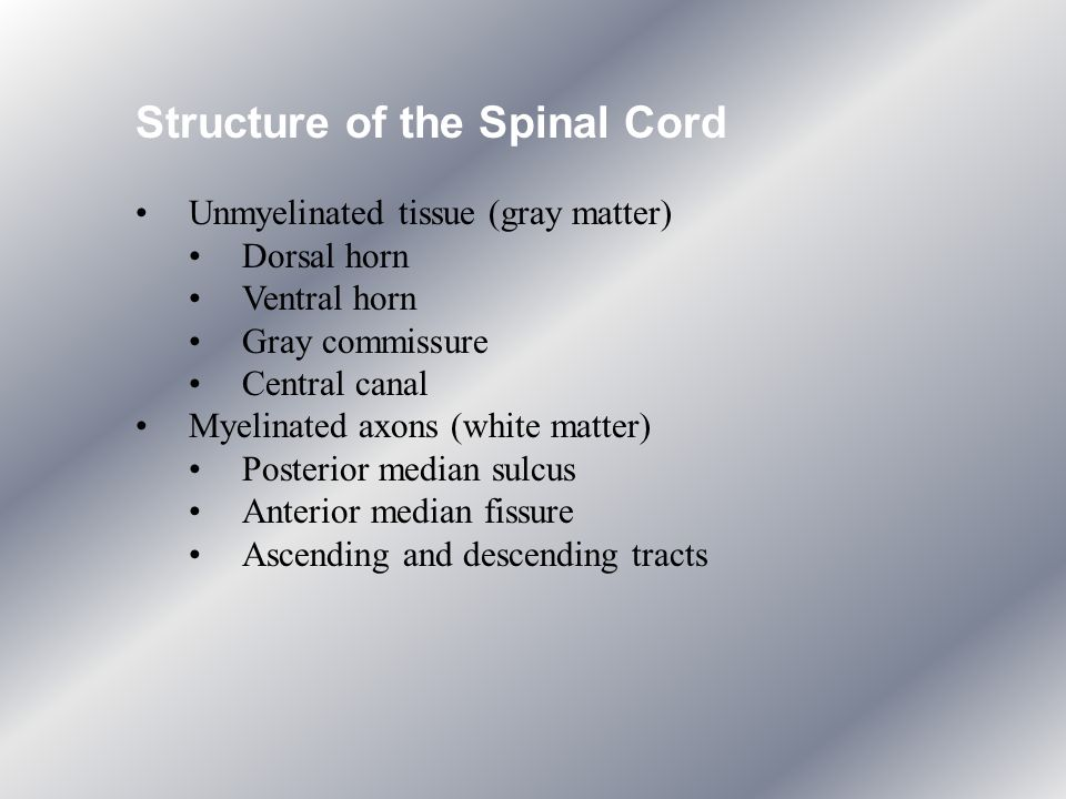 Structure of the Spinal Cord
