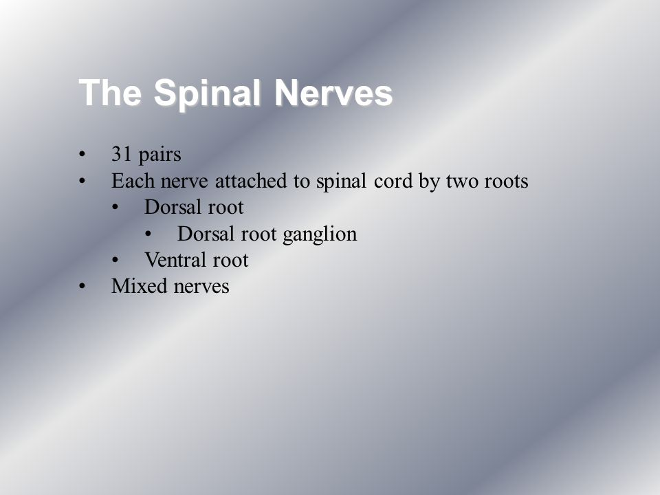 The Spinal Nerves 31 pairs