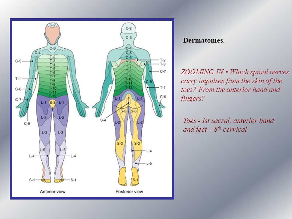 Dermatomes. ZOOMING IN • Which spinal nerves. carry impulses from the skin of the. toes From the anterior hand and.