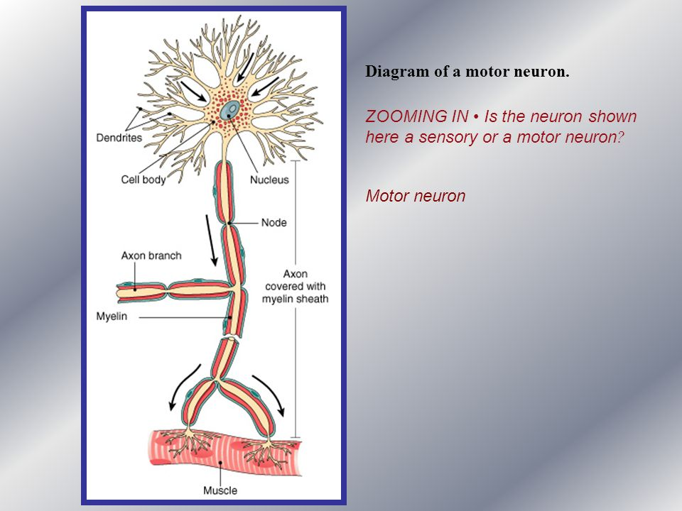 Diagram of a motor neuron.