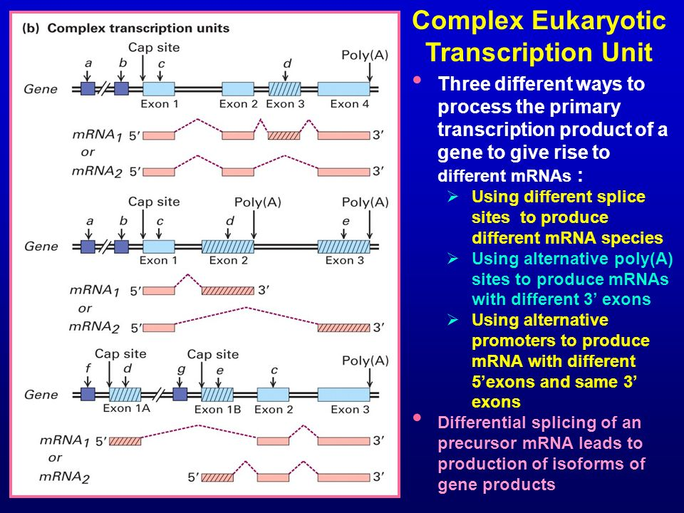 Complex Eukaryotic Transcription Unit