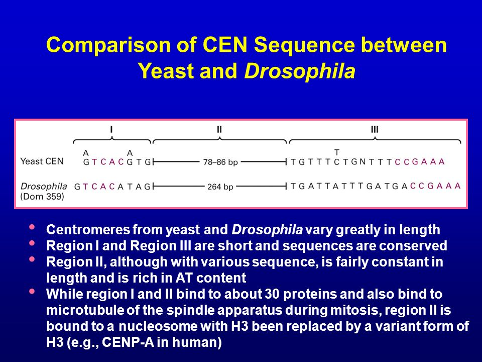 Comparison of CEN Sequence between Yeast and Drosophila