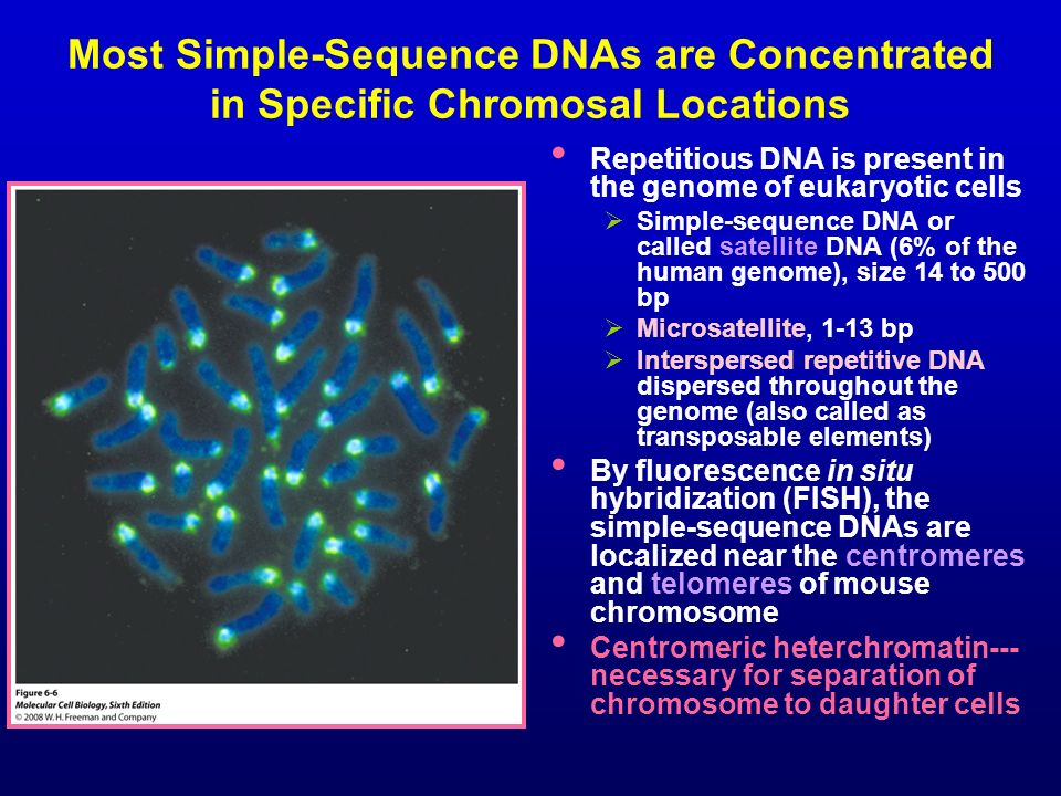 Most Simple-Sequence DNAs are Concentrated in Specific Chromosal Locations