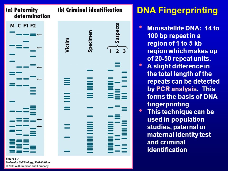 DNA Fingerprinting Minisatellite DNA: 14 to 100 bp repeat in a region of 1 to 5 kb region which makes up of 20-50 repeat units.