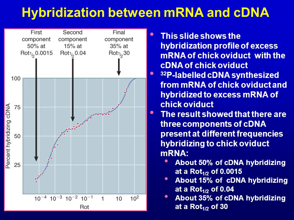 Hybridization between mRNA and cDNA