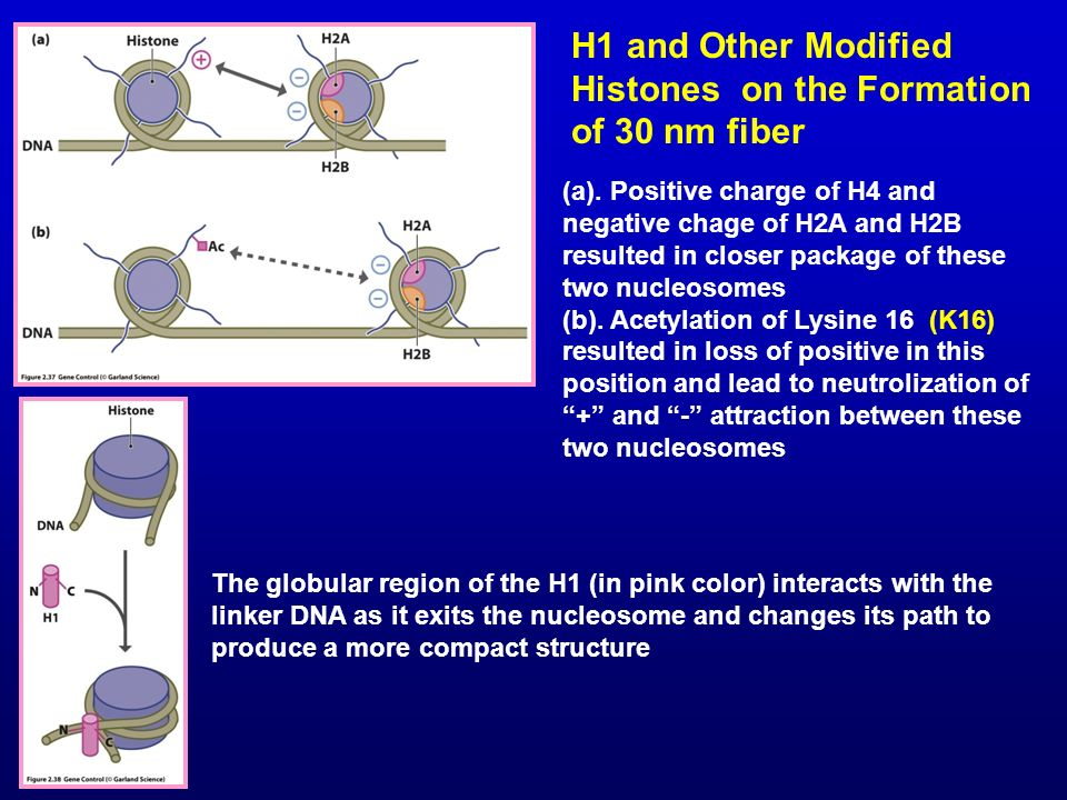 H1 and Other Modified Histones on the Formation of 30 nm fiber