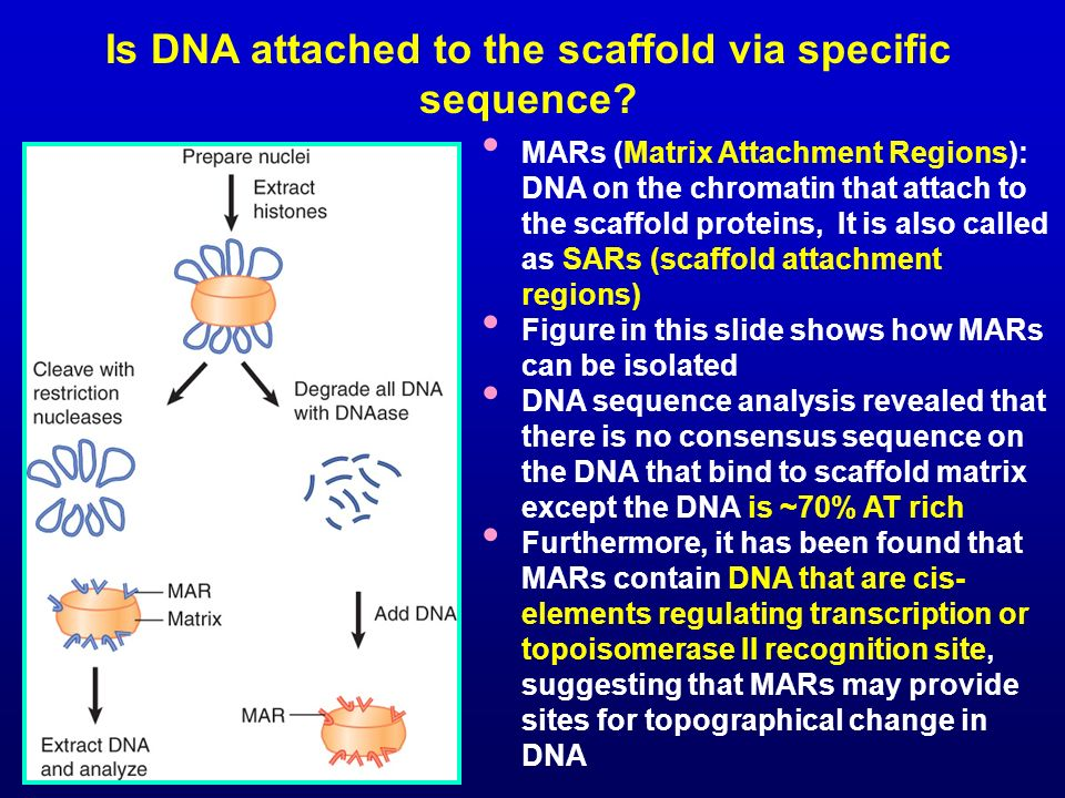 Is DNA attached to the scaffold via specific sequence