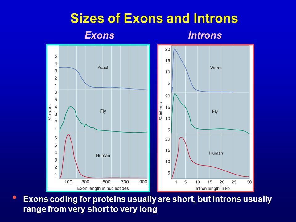 Sizes of Exons and Introns