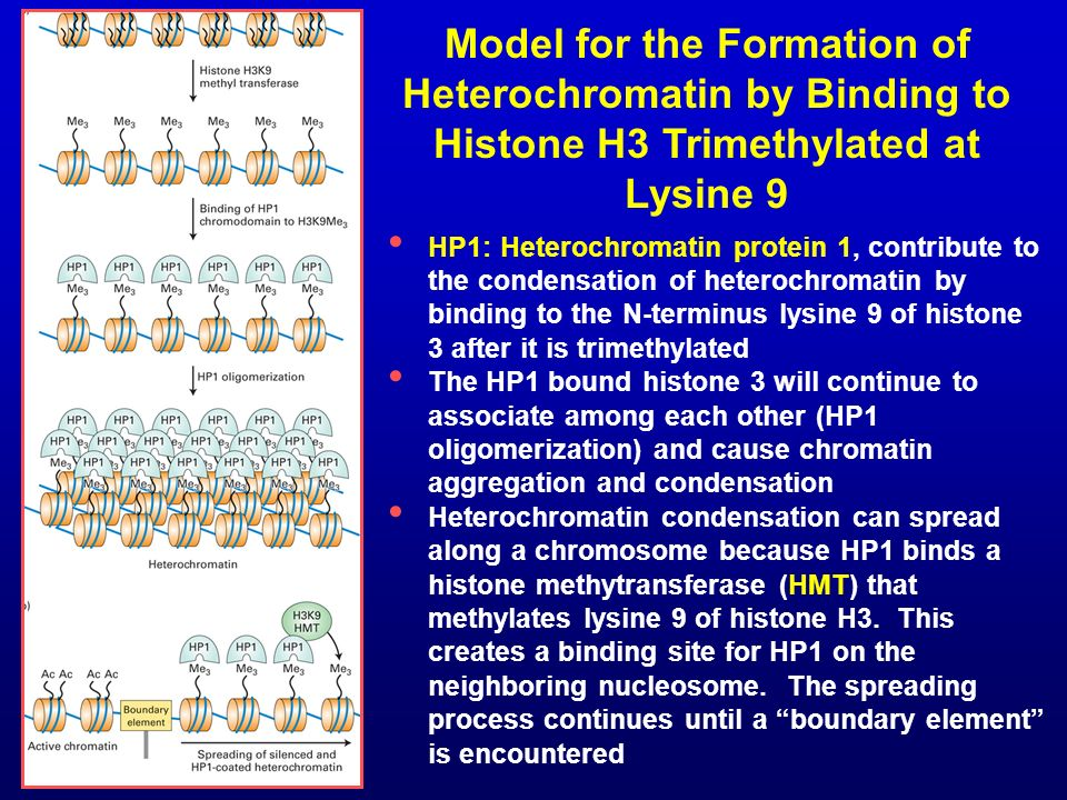 Model for the Formation of Heterochromatin by Binding to Histone H3 Trimethylated at Lysine 9