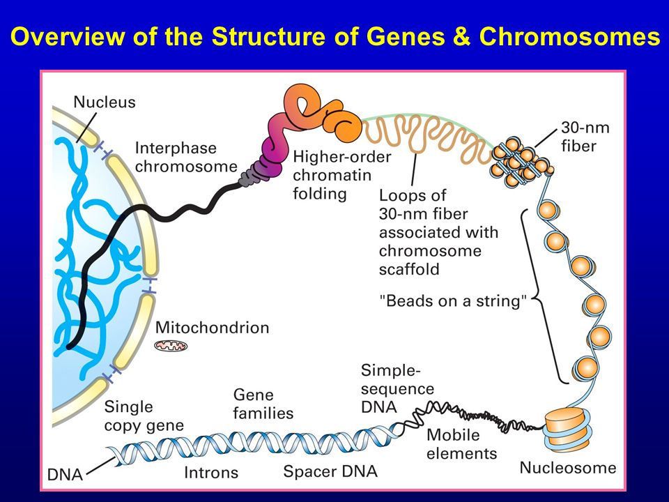 Overview of the Structure of Genes & Chromosomes