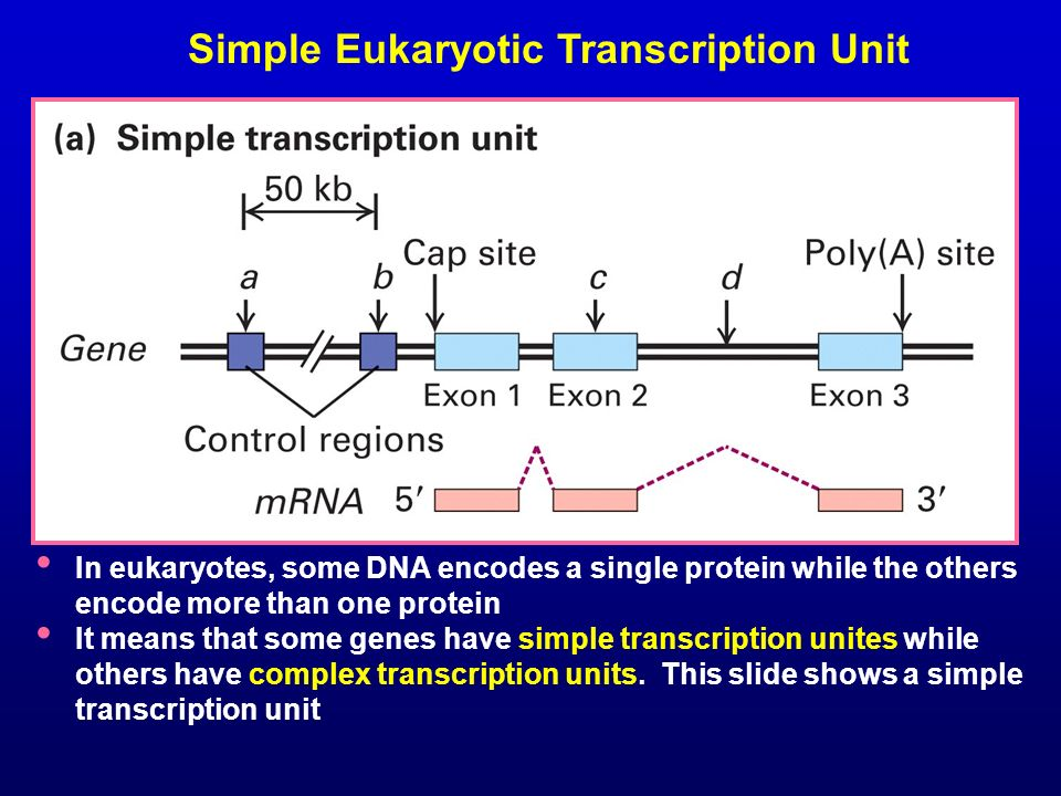 Simple Eukaryotic Transcription Unit