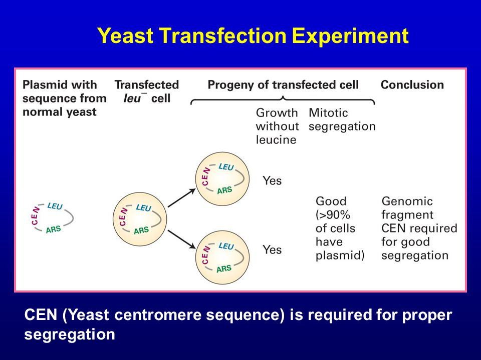 Yeast Transfection Experiment